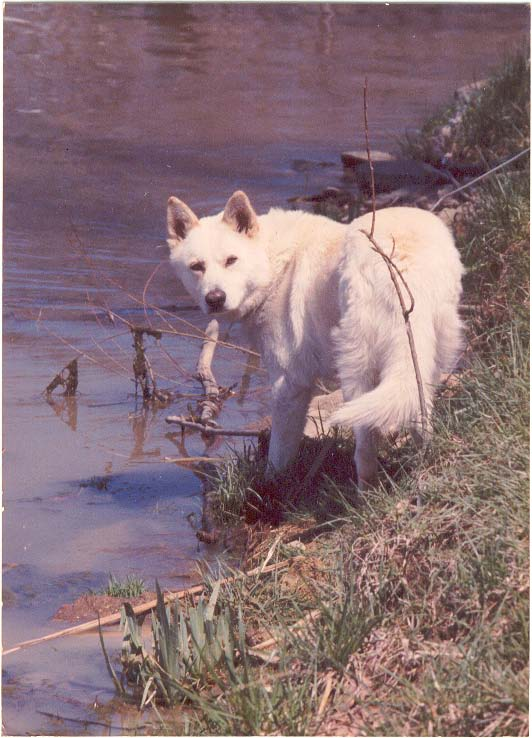 Bubba - white dog posing near water
