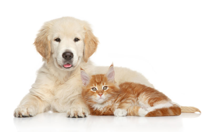 Golden Retriever puppy and kitten posing on white background.